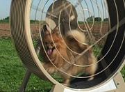 Dog hamster wheel